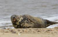 Grey seal (Halichoerus grypus) hauled out on beach, Norfolk,