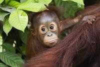 Bornean Orang-utan (Pongo pygmaeus wurmbii) male baby 'Thor'