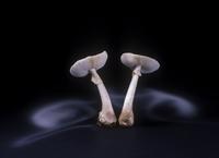 False death cap fungus (Amanita citrina var. alba) showing s