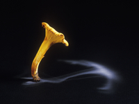 Edible chanterelle fungus (Cantharellus cibarius) showing sp