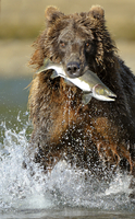 Grizzly Bear (Ursus arctos horribilis) with caught salmon. K