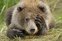 Portrait of a Grizzly Bear (Ursus arctos) cub with paw over
