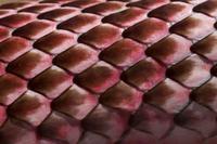 Close-up of Red Coachwhip Snake (Masticophis flagellum cingu 20070001628| 写真素材・ストックフォト・画像・イラスト素材|アマナイメージズ