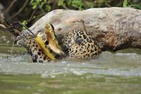 パラグアイカイマンを襲うジャガー