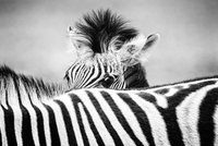 Zebra (Equus quagga) foal peering over its mother's striped
