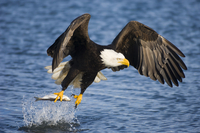 Bald Eagle (Haliaeetus leucocephalus) taking a fish from wat