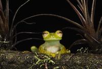 Portrait of an Emerald Glass Frog (Espadarana / Centrolenell