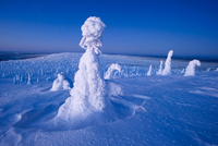 Conifer trees laden with snow in winter landscape, Kuusamo,