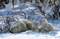Polar Bear (Ursus maritimus) mother resting while her 3-mont
