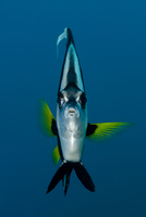 Longfin Bannerfish (Heniochus acuminatus) head on portrait,