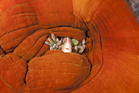 Pink anemonefish (Amphiprion perideraion) hiding amongst the