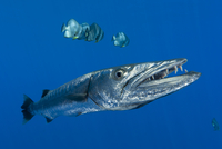 Great barracuda (Sphyraena barracuda) with Teira batfish (Pl