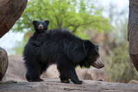 Sloth Bear (Melursus ursinus) mother with cub riding on her