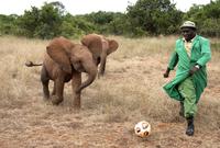 Orphan baby Elephants (Loxodonta africana) playing football