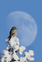 Hawk Owl (Surnia ulula) perched on snowy tree in front of th