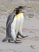 King Penguin (Aptenodytes patagonicus) trio walking in line
