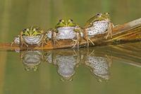 Three Edible Frogs (Rana esculenta) on a log in water. Switz