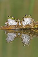 Edible Frogs (Rana esculenta) on log in water. Switzerland,