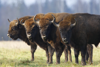 Four Wisent / Bison (Bison bonasus) standing in a row. Bialo