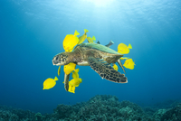 Green sea turtle (Chelonia mydas) being cleaned of algae by