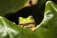 Common green tree frog (Litoria caerulea) in rainforest, Iro 20070001803| 写真素材・ストックフォト・画像・イラスト素材|アマナイメージズ