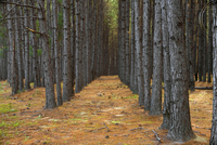 Rows of pine trees in Pine forest plantation along Highway 2 20070001824| 写真素材・ストックフォト・画像・イラスト素材|アマナイメージズ