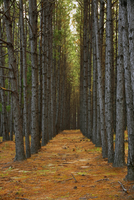 Rows of pine trees in Pine forest plantation along Highway 2 20070001825| 写真素材・ストックフォト・画像・イラスト素材|アマナイメージズ