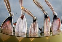 Dalmatian pelicans (Pelecanus crispus) low angle perspective