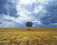 Lone Walnut (Juglans) tree in a field of barley. Picardy, Fr