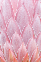King Protea (Protea cynaroides) bud close-up detail. Maui, H