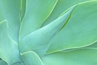Agave (Agave sp.) leaf close-up detail. Maui, Hawaii, Februa