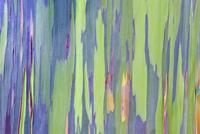 Rainbow Eucalyptus (Eucalyptus sp.) bark detail. Maui, Hawai