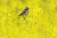 Male Whinchat (Saxicola rubetra) perched on Oil seed rape (B