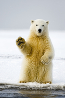 Polar bear (Ursus maritimus) curious cub sits up on its hind