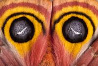 Bullseye / Io moth (Automeris io) showing eye spot markings