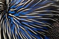 Vulturine guineafowl (Acryllium vulturinum) close-up of feat
