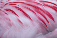 Greater flamingo (Phoenicopterus ruber) close-up of back, ca