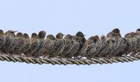 Row of Starlings (Sturnus vulgaris) perched on wire. The Ven