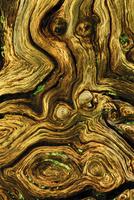 Detail of dead wood from English / Pendunculate oak tree (Qu