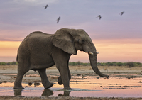 African elephant (Loxodonta africana) at sunset by water, Et 20070001926| 写真素材・ストックフォト・画像・イラスト素材|アマナイメージズ