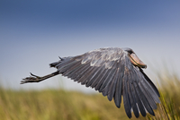 Whale headed / Shoebill stork (Balaeniceps rex) in flight ov