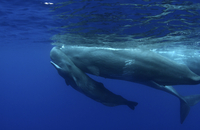 Sperm Whale (Physeter macrocephalus) calf swimming uder its