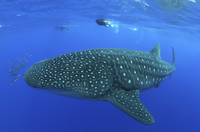 Whale Shark (Rhincodon typus) accompanied by Pilot Fish (Nau 20070001969  写真素材・ストックフォト・画像・イラスト素材 アマナイメージズ
