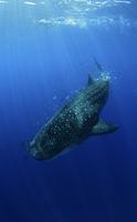Whale Shark (Rhincodon typus) accompanied by Pilot Fish (Nau 20070001970  写真素材・ストックフォト・画像・イラスト素材 アマナイメージズ