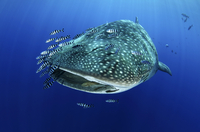 Whale Shark (Rhincodon typus) accompanied by Pilot Fish (Nau 20070001971  写真素材・ストックフォト・画像・イラスト素材 アマナイメージズ