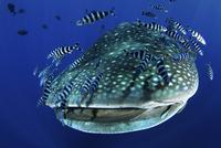 Whale Shark (Rhincodon typus) accompanied by Pilot Fish (Nau 20070001972  写真素材・ストックフォト・画像・イラスト素材 アマナイメージズ