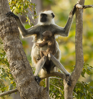 Hanuman Langur / Northern Plains Grey Langur (Semnopithecus
