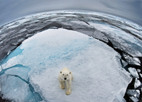 Polar Bear (Ursus maritimus) portrait in sea-ice landscape.