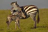 Burchell's Zebra (Equus quagga) mother with new born foal. M