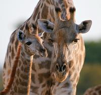 Giraffe (Giraffa camelopardalis) female bending down to calf